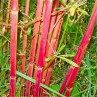 Bamboo RED PANDA - Red Stem Umbrella Bamboo