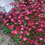 EXTRA LARGE - Saxifraga Mossy RED - Cushion Saxifrage Plants