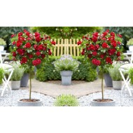 Pair of Standard RED Flowering PATIO Rose Trees 80-100cm tall