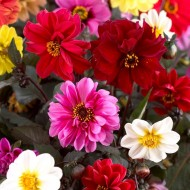 Dahlia Red Skin Mix - Pack of THREE