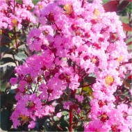 Lagerstroemia indica 'Rhapsody In Pink' - Crepe Myrtle