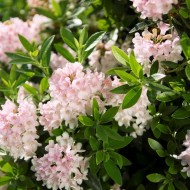 SPECIAL DEAL - Rhododendron migranthum inkarho 'Bloombux'®