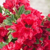 Rhododendron Red Jack - Evergreen Shrub