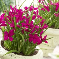 Rhodohypoxis Twinkle Stars - Fairytale Rhodoxis - Magenta Star Grass