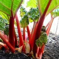 Rhubarb Victoria - Rheum rhabarbarum