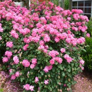Rose Pink Bells - Ground Cover Rose