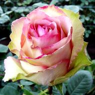 Rose Adventure