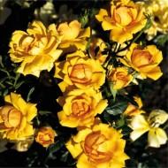 Rose Amber Nectar - Floribunda Shrub Rose