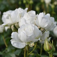 Rosa Annapurna