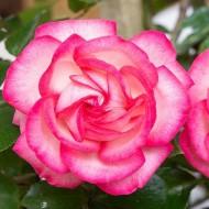 Large 6-7ft Specimen Climbing Rose - Rose Antike 89 - Courtyard Climber