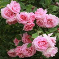 Large 6-7ft Specimen Climbing Rose - Rose Blairii No 2 - Courtyard Climber