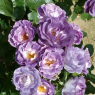 Rose - Blue For You - Bush Rose