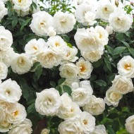Large 6-7ft Specimen - Climbing Rose Iceberg (Shneewitchen)