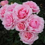 Rose Evy - Floribunda Shrub Rose