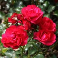 Rose Lancashire - Ground Cover Rose