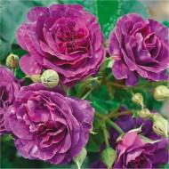 Rose Tree 'Minerva' - LARGE Standard Tree