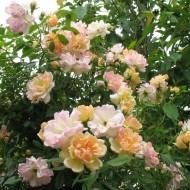 Rose Phyllis Bide - Rambling Rose