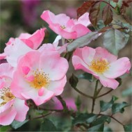 Rose Rosy Cushion - Ground Cover Rose