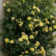 Rose Soleil Vertical - Climbing Rose