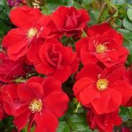 Rose W B Yeats - Shrub Rose