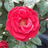 Rose Love Knot - Climbing Rose
