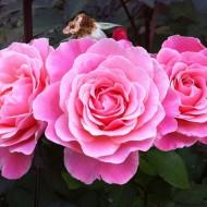 Rose Tickled Pink - Bush Roses