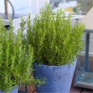 Rosmarinus officinalis - Rosemary Bush