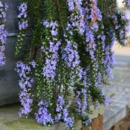 Rosmarinus officinalis Prostratus - Trailing Rosemary