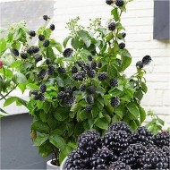 Blackberry - Rubus 'Little Black Prince' - Dwarf Patio Blackberry