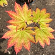 Acer japonicum Vitifolium - Vine leaved Japanese Maple