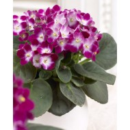 Large Saintpaulia African Violet Plant - Trendy Red Bicolour in White Display Pot