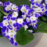 Large Saintpaulia African Violet Plant - Trendy BLUE Bicolour in White Display Pot