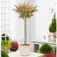 Standard Topiary Tree - Plaited Stem Salix integra Flamingo - Braided Standard Tree