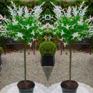 FLAMINGO TREES - Pair of Standard Topiary Salix Flamingo