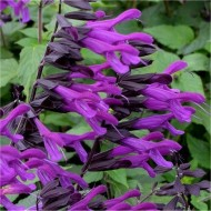 Salvia Amistad - In Bud & Bloom