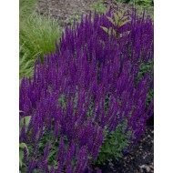 BULK PACK - Salvia nemorosa 'Ostfriesland' - Pack of TEN Perennial Plants