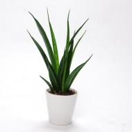Snake Plants - Sansevieria - in Classic White Display Pot
