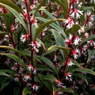 Sarcococca hookeriana 'Purple Stem' - Sweet Box