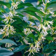 Christmas Box - Sarcococca confusa - Evergreen Fragrant Plants