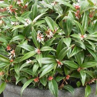 Sarcococca hookeriana Winter Gem - Fragrant Sweet Box