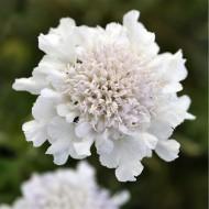 Scabiosa columbaria 'Flutter Pure White'