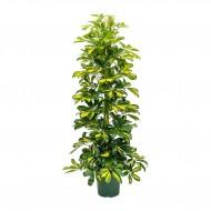 Schefflera Arboricola Gold Capella Dalton - Unbrella Plant Tree - Large 120cms Specimen