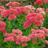 Sedum Herbstfreude - Autumn Joy - Pack of THREE Plants in Bud