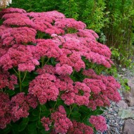 Sedum Herbstfreude - Autumn Joy