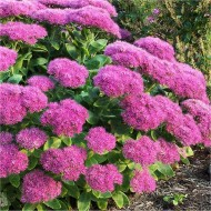 Sedum spectabile ''Brilliant'' - Ice Plant - Stonecrop