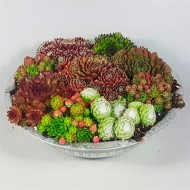 Evergreen Succulent Garden - Sempervivum Houseleek Garden in Zinc Bowl