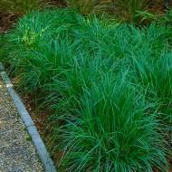 Sesleria Greenlee - Moor Grass