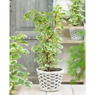 Hydrangea petiolaris Silver Lining - Variegated Climbing Hydrangea