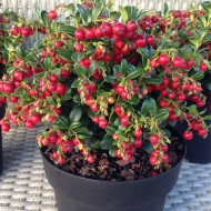 "SPECIAL DEAL - Vaccinium ""Fire Balls"" Cranberry Plants - Grow your own Cranberries"
