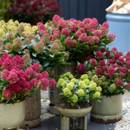 Skimmia japonica Collection - THREE Different Plants